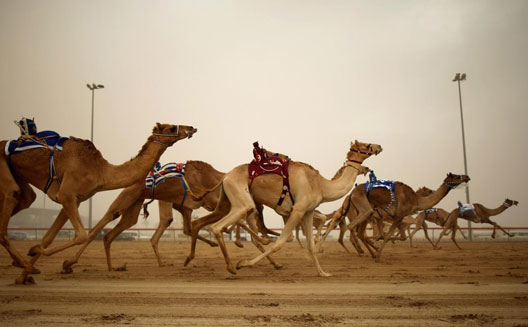 Racing camels and their 'fitbits'